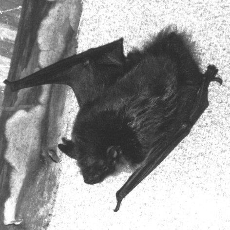 The True Werwolf - Vampyr Strigoi & Rituals